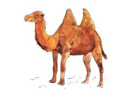 Backtrian Camel by TomHenderson