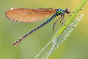beautiful demoiselle by MartinAmm
