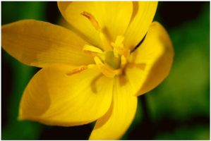 yellow flower by Knapppen