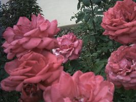 roses 2 by the-alyshleigh-stock
