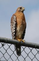 Red Shouldered Hawk I by avengedxdeathbat