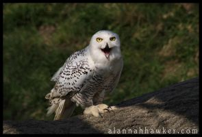 Hedwig by Alannah-Hawker