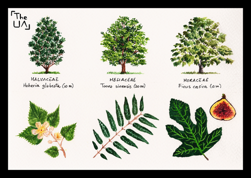 Tree Study - Broad Leaved 12 by TheUnconfidentArtist