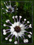 Spoon Petaled Daisies by papatheo