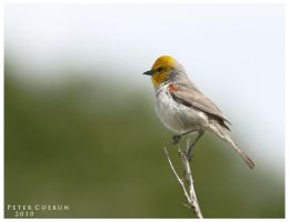 Verdin by PeterJCoskun