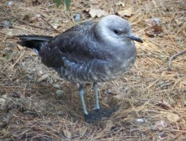 young parasitic jaeger by Feridwyn