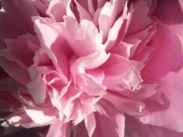 Pink Peony by druid69