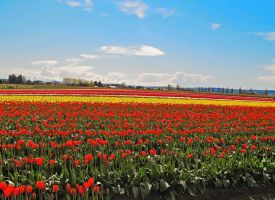 Tulip Festival #9 by KRHPhotography