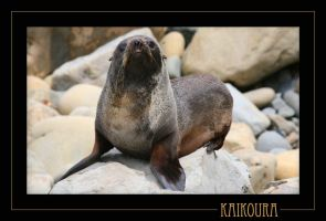 Kaikoura Seal 2 by 7scout7