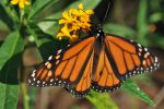 Monarch Butterfly 2 by Lenscoveredeye
