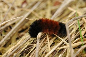 Wooly Bear by EmmaHolmes96