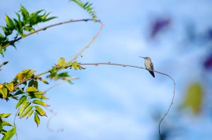 Humming Bird by roarbinson