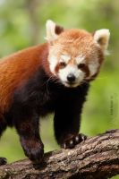 Portrait of Pong, the red panda. by Ravenith
