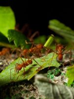 Leaf Cutter Ants 05 - June 12 by mszafran