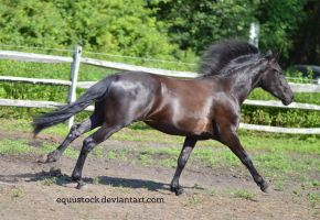 Black warlander canter stretched II by equustock