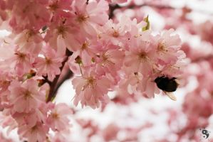 Cherry Blossom Bumblebee by sleepingFrog