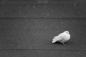 White pigeon, Angel from rooftops by aleexdee