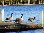 Sunbathing Geese by JeremyC-Photography
