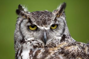 Great Horned Owl by Steve-FraserUK