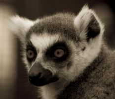 ring tailed lemur portrait by rosscaughers