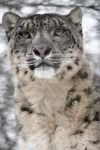 Snow leopard by photoflacky