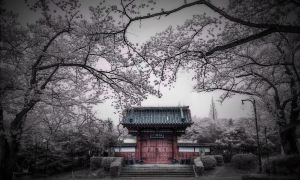 Beyond the Cherry Blossom Trees by CMOSsPhotography