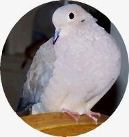 My Pretty Dove by LuLupoo