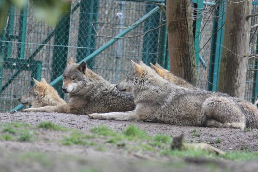 Wolf Stock 04 by Malleni-Stock