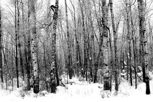 Winter Birches by tracy-Me