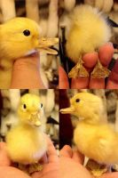 Soft Mounted Duckling SOLD by YukiChana