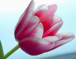 Tulip - spring mood II by miss-gardener