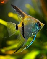 Angel Fish by andy1349