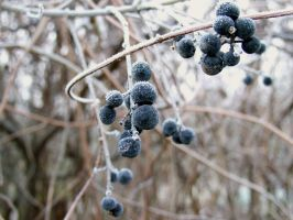 Frozen berries by louveska