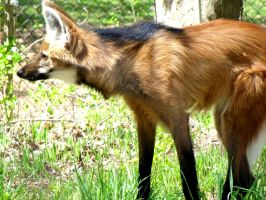 Maned Wolf by Cocytus-Crocus