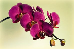 the orchid 2 by Su58