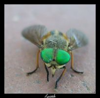 the fly with the green eyes... by luisah
