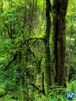 portland forest four by DCRIII