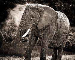 Elephant by tifrize
