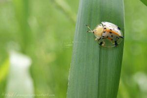 coleoptera by dianapple