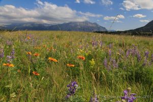 Wildflowers of Waterton Park by Mac-Wiz