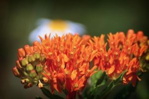 Bacon and Eggs - Butterfly Weed and Daisy by S-H-Photography