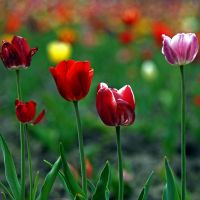 five tulips by augenweide