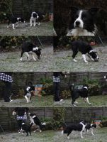 Collie Dogs 15 by Tasastock