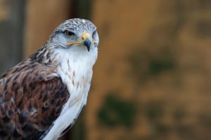 8074 - Ferruginous Hawk by Jay-Co