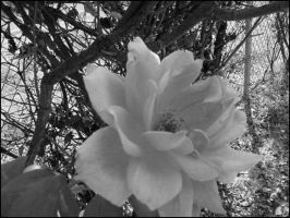 rose in black and white... by Ulqiourrafangirl