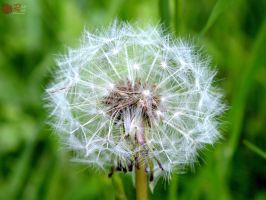 Dandelion by RoseRedPhotography