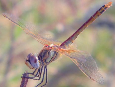 dragonfly by tsoube