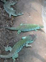 Ocellated lizards by fosspathei
