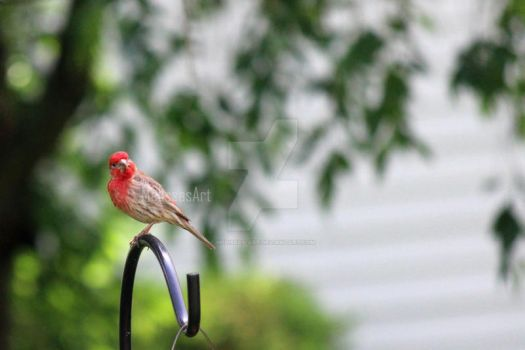 Red Head Finch by Melissas-Art