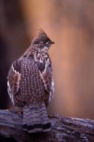 Ruffed-Grouse-Deep woods by JestePhotography